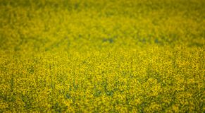 Colza. Just a photo of a colza fields blooming Stock Photography