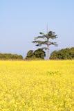 Colza l'azienda agricola dei fiori Fotografia Stock