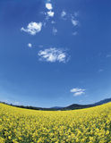 Colza meadow. Summer yellow colza meadow with blue sky Stock Photography