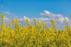 06 12 2011 colza nadchodzących kwiatów domów leidschendam zrobił holandiom target1849_0_ miejsce dokąd Obraz Stock
