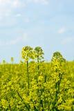Colza (napus do Brassica) Imagem de Stock