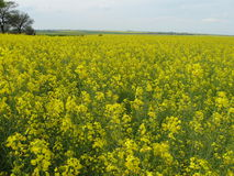Colza. Nature Brassica napus yellow flower meadow landscape plant annual Stock Photo