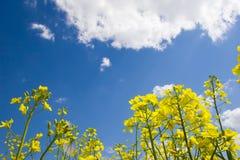 Colza oléagineux avec le ciel bleu Photo stock