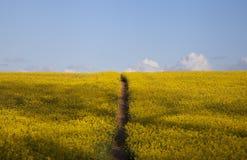 Colza oleifero con il percorso Fotografie Stock Libere da Diritti