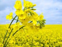 Colza oleifero di fioritura Immagine Stock