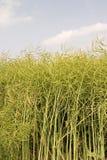 Colza oleifero pronto per la raccolta fotografia stock