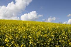 colza pola kwiatu kolor żółty zdjęcia stock