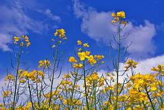 Colza. Rapeseed field and blue sky Stock Images