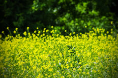 Colza rapeseed rape on a green background Stock Photography