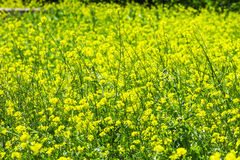 Colza rapeseed rape on a green background Royalty Free Stock Photo