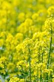 Colza yellow Royalty Free Stock Photo