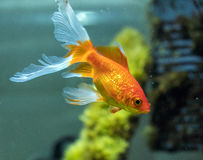 Comète ou poisson rouge comète-coupé la queue et x28 ; Auratus& x29 de Carassius ; dans l'aquarium photos libres de droits