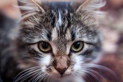 Cara do gato Fotos de Stock Royalty Free