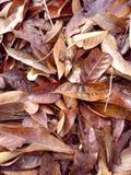 Com folhas seco do close up na terra Fotos de Stock
