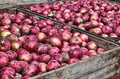 Com fome para maçãs Imagem de Stock Royalty Free