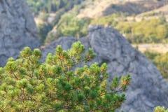Com o ninho processionary do pinho de montanha nas montanhas Imagem de Stock Royalty Free