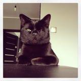 Com um só olho, preto, chefe do gato fotos de stock royalty free
