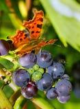 Coma en las uvas foto de archivo libre de regalías