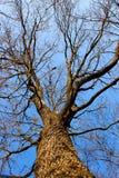 Coma oak aphyllous Stock Image