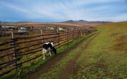 Coma a vaca de leite da grama no rancho da manhã Fotografia de Stock