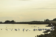 Comacchio valley lagoon. Seagulls resting over the orange water stock image