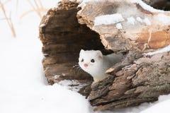 Comadreja atada cortocircuito lindo en nieve imagen de archivo libre de regalías