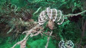Comanthina sea lily, Crinoidea, Sawtoothed Feather star underwater in ocean stock video