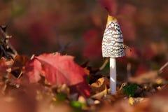Comatus чернильного гриба стоковая фотография rf