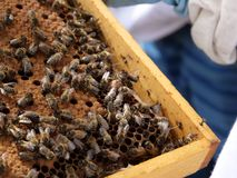 Comb with bee brood. Workerbees and drones on it. In the background you can spot the beekeeper in his apiary royalty free stock photos