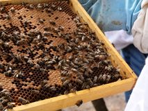 Comb with bee brood. Workerbees and drones on it. In the background you can spot the beekeeper in his apiary royalty free stock photo
