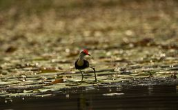Comb-crested Jacana royalty free stock images