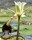Comb Crested Jacana Stock Photography