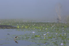 Comb-crested Jacana in the morning fog at Lake Gregory in Austra Royalty Free Stock Photography