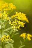 Comb Draba Royalty Free Stock Photos