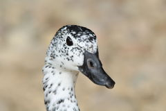 A comb duck. The head of a spotted comb duck Royalty Free Stock Photography