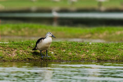 Comb Duck. Single Comb Duck, a migratory bird sitting at Thol Bird Sanctuary Royalty Free Stock Image