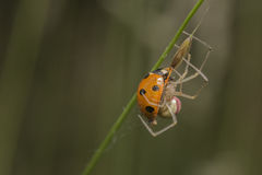 Comb-footed spider eating a Ladybird Royalty Free Stock Photography