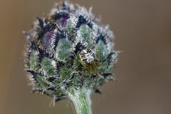 Comb-footed spider on thistle bud Stock Image