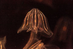Comb jelly Phylum Ctenophora Royalty Free Stock Image