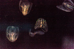 Comb jelly Phylum Ctenophora do not have stinging cells Stock Photo