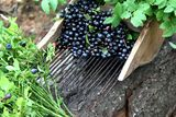 Comb for picking blueberries. Fresh blueberries and blueberry leaves Stock Photo