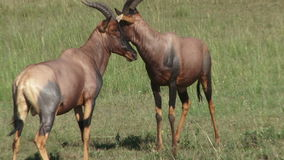 Combat africain d'antilopes clips vidéos