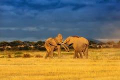 combat d'éléphants Photographie stock libre de droits