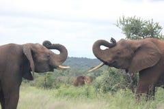 combat d'éléphants Photos stock