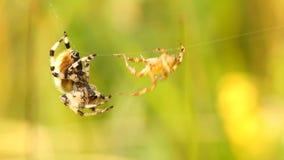 Combat d'araignées banque de vidéos