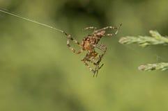 Combat d'araignées   photos libres de droits
