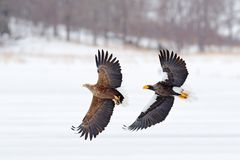 Combat d'Eagle Combat d'Eagle avec des poissons Scène d'hiver, oiseaux de proie Grands aigles, mer de neige Aigle Blanc-coupé la  photos stock
