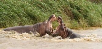 Combat d'hippopotame photographie stock