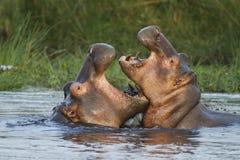 Combat d'hippopotame Images libres de droits