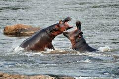 Combat d'hippopotames Photos stock